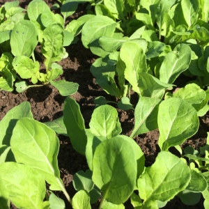 Young arugula will soon find its way into a #tasty salad.