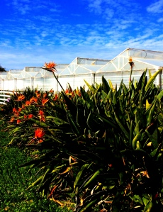 Greenhouses with bird of paradise