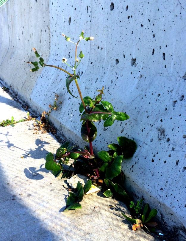 urban weeds
