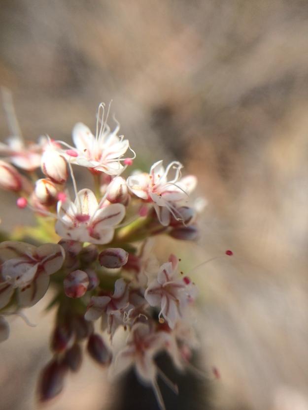 ceanothus flower