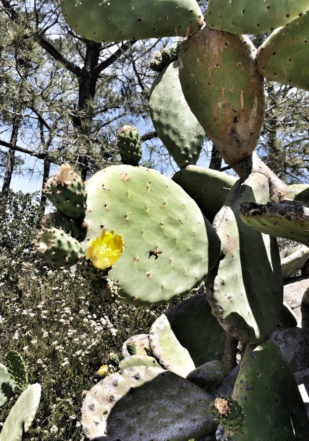 prickly pear with bee
