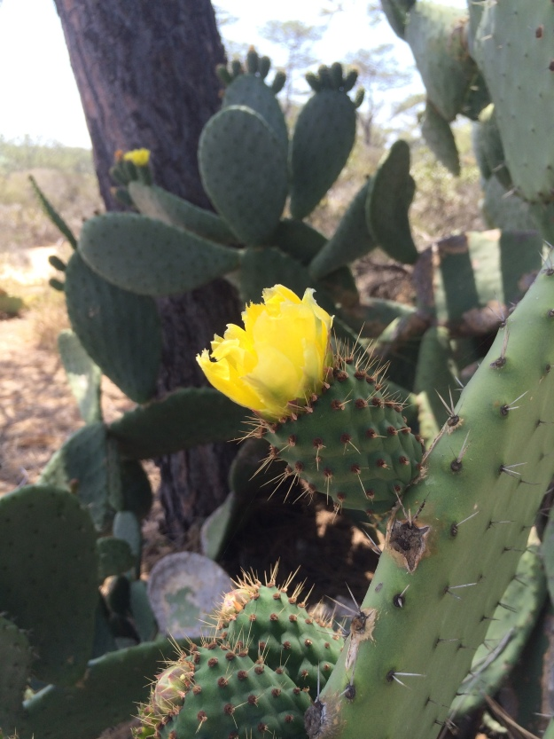 prickly pear yellow blossom
