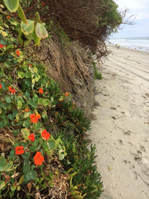 nasturtiums on the beach