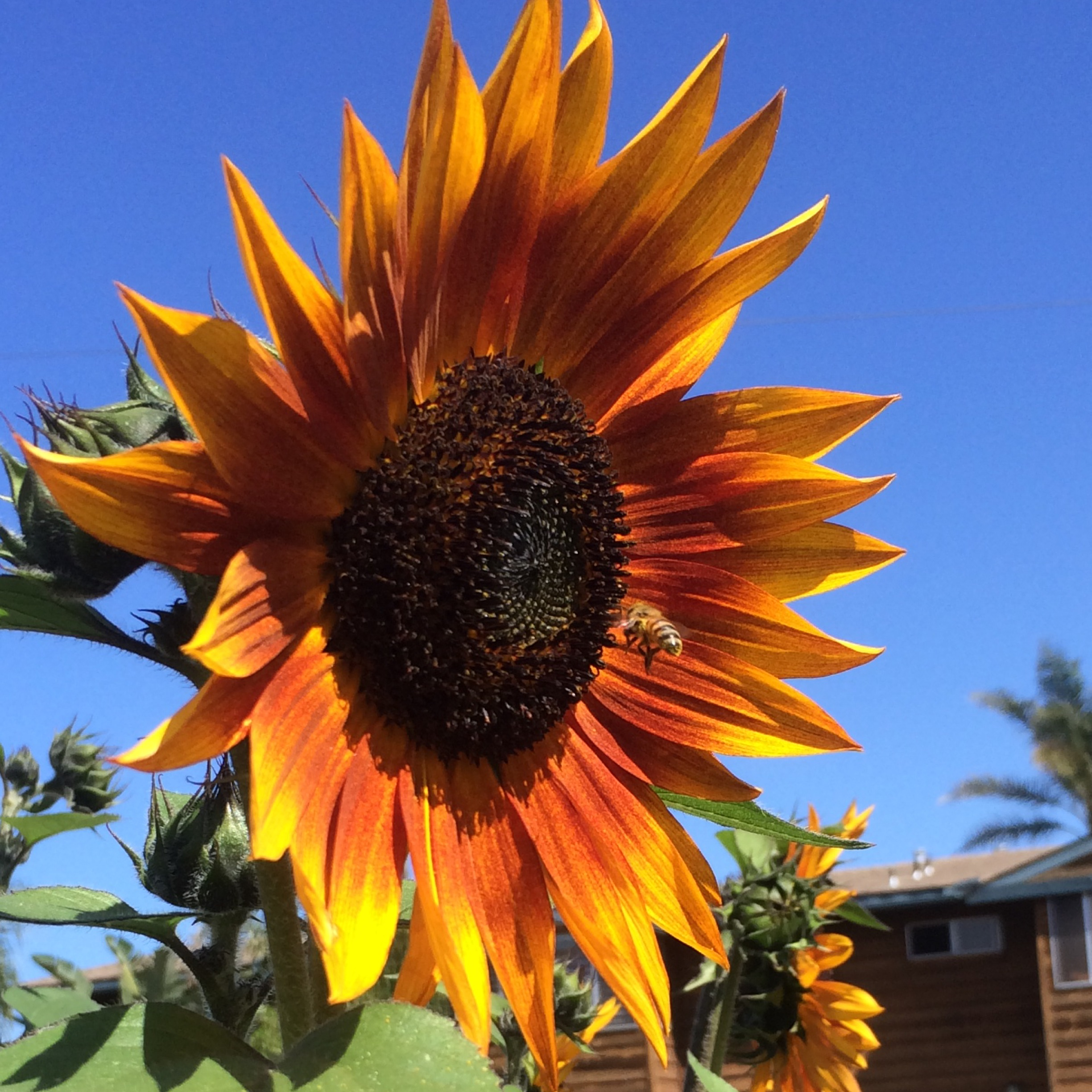 orange sunflower with bee