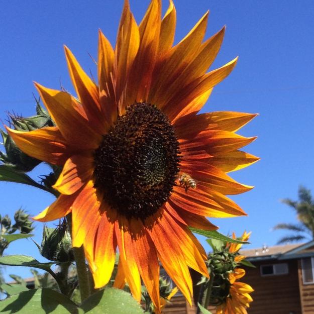 orange sunflower with bee