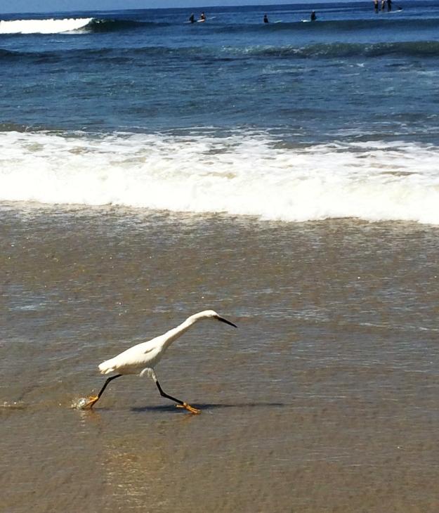 tiptoeing egret