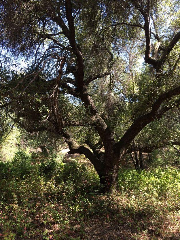 coast live oak