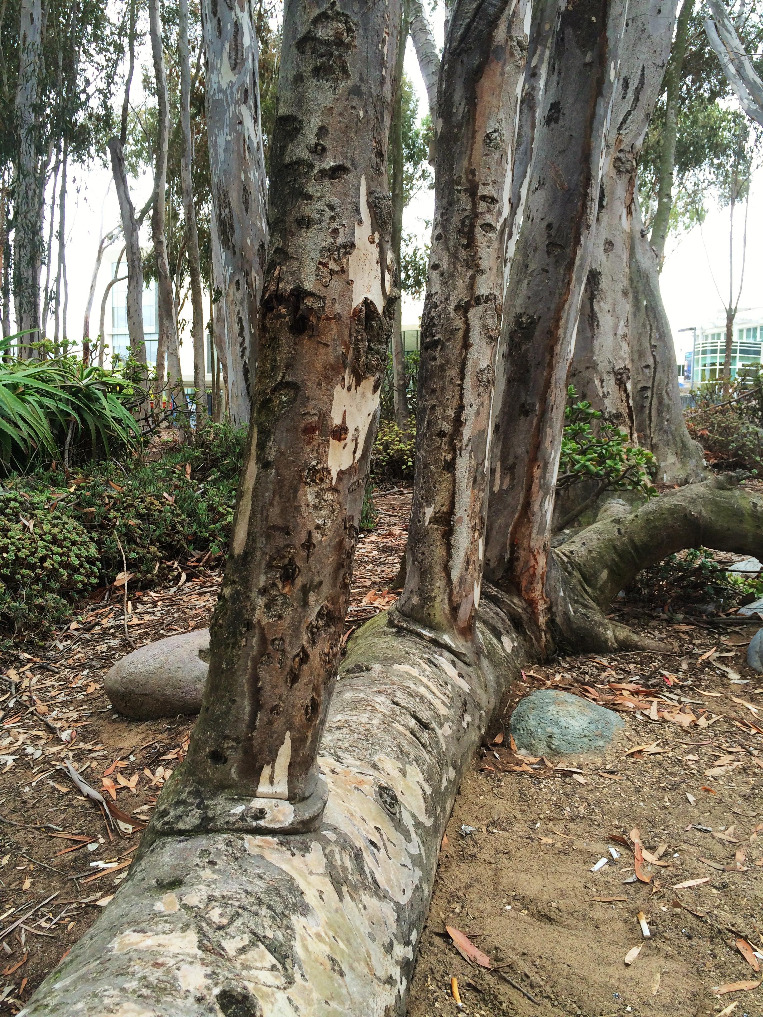 eucalyptus growing from a stump