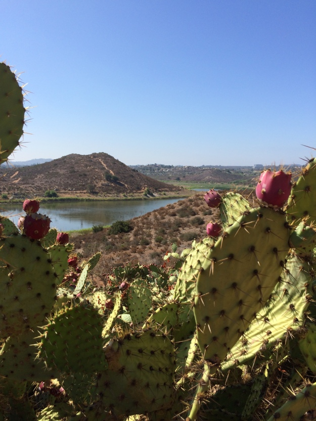 framed by prickly pear
