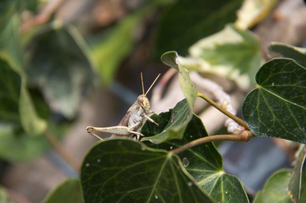 grasshopper Nick
