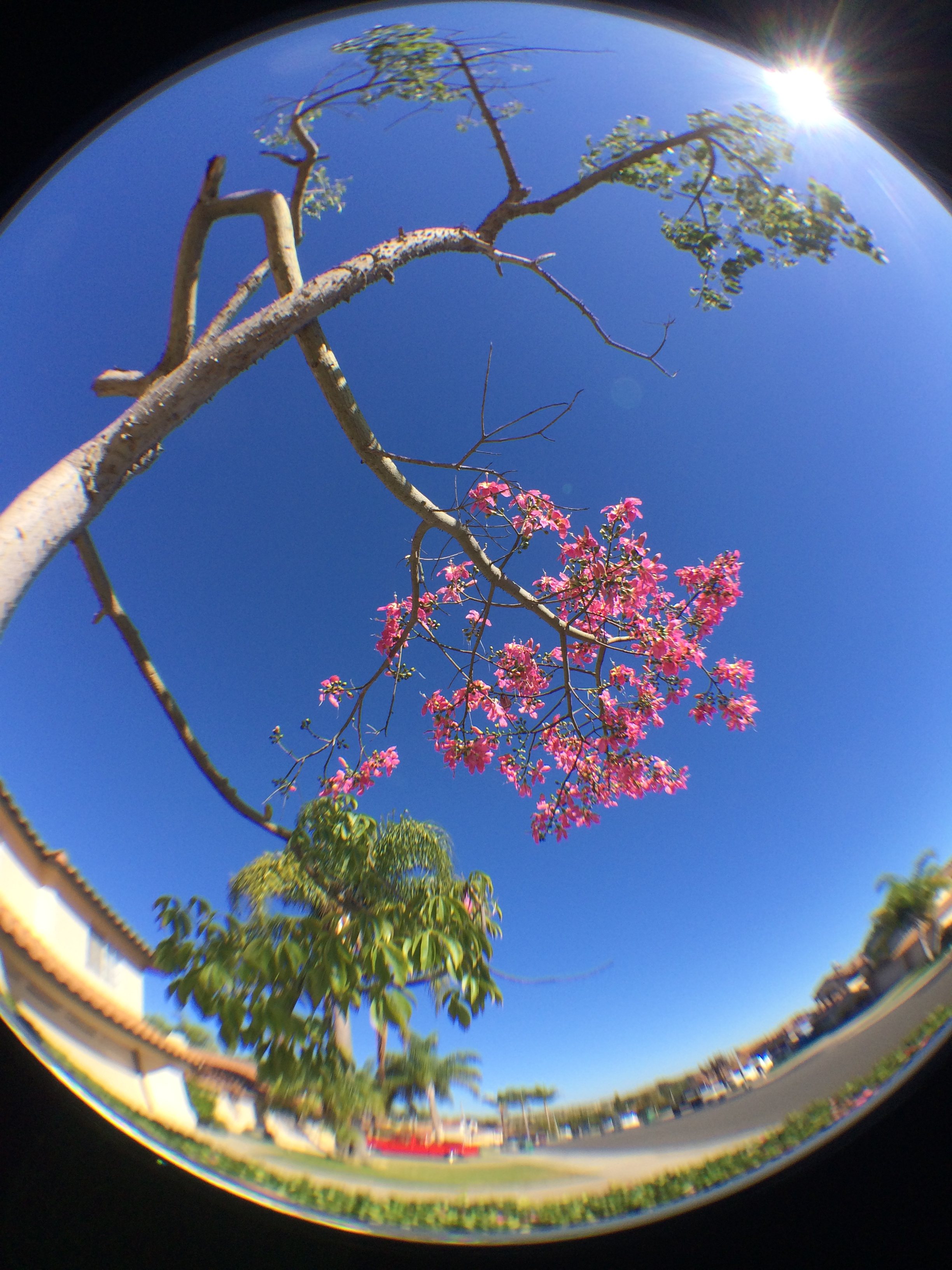 tree blossoms_fisheye