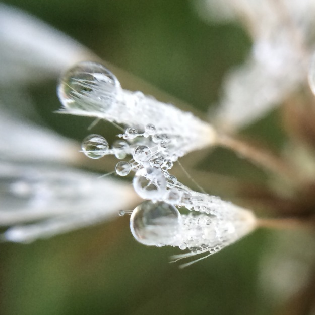 dandelion in dew drop