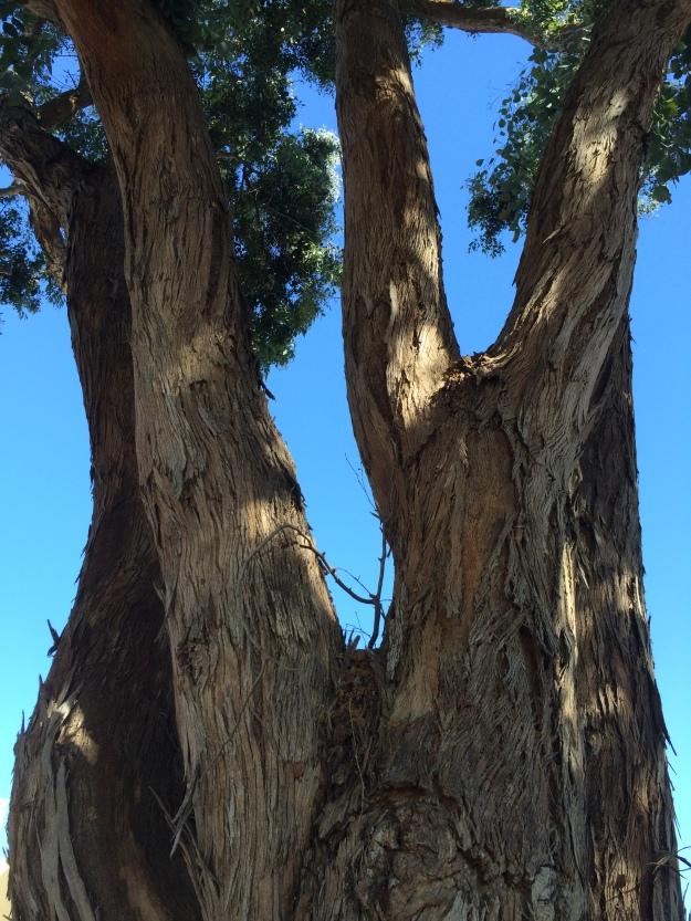 under the eucalyptus