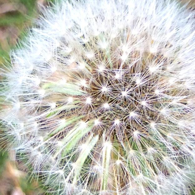 dandelion puffball
