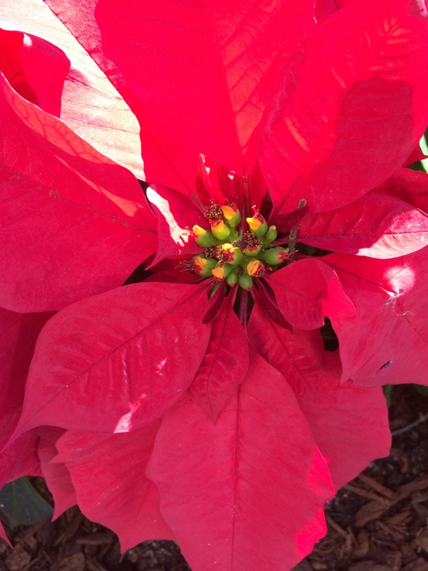 poinsettia in sunlight
