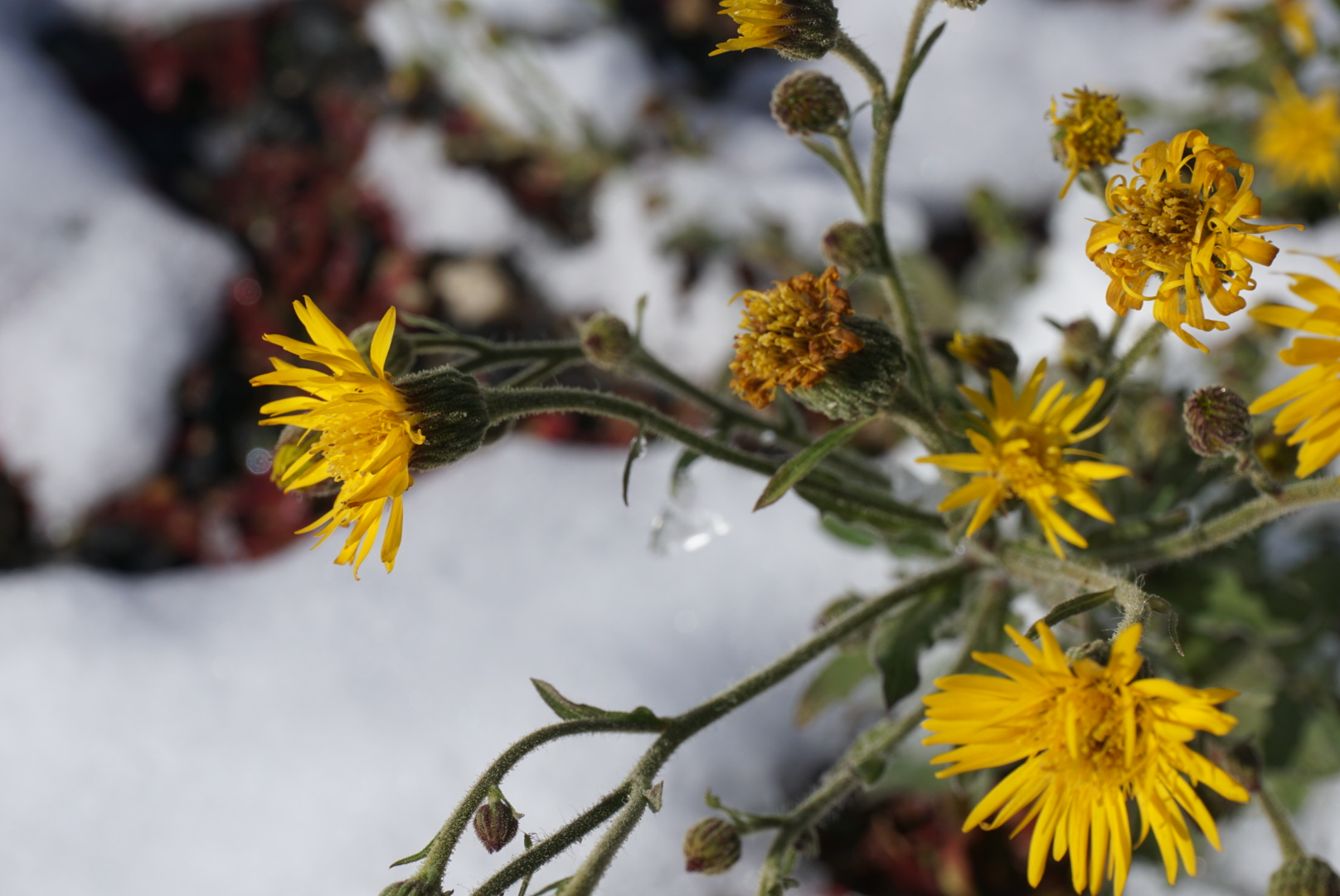 dandelions in the snow