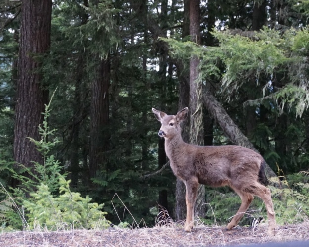 deer near Hurricane Ridge