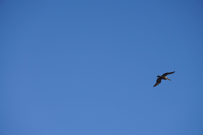 peleican in flight