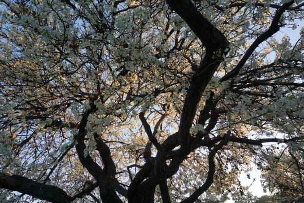 reach-cherry tree
