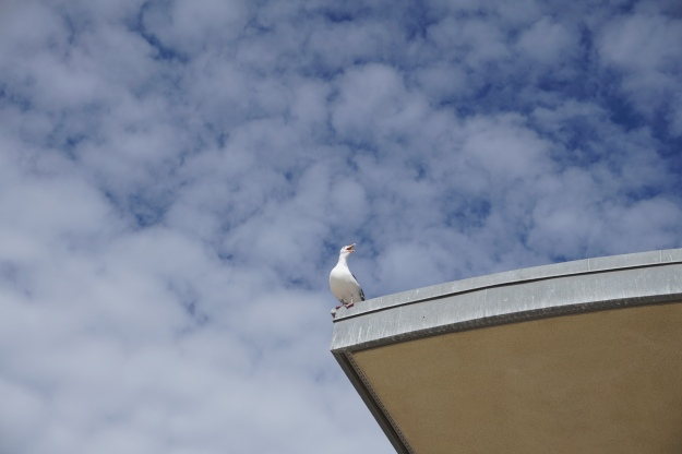 seagull sounding the alarm