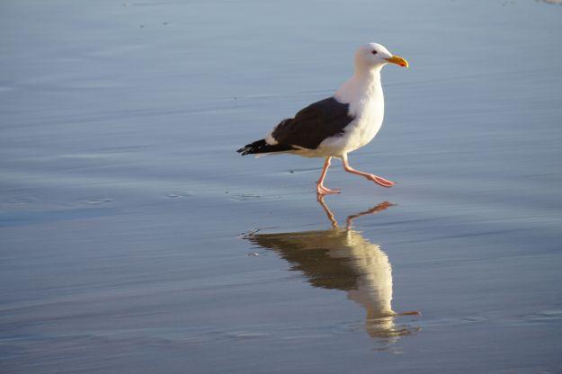 struttin' gull