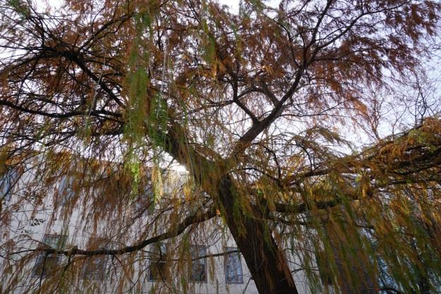 tree at UCD