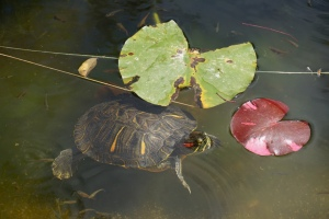 turtle and lily pads