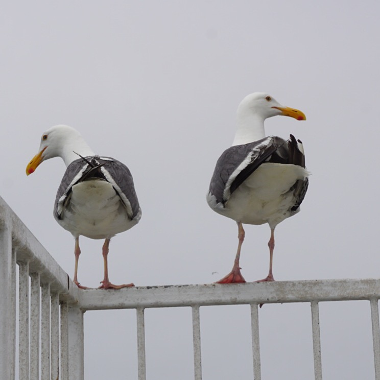 seagull butts