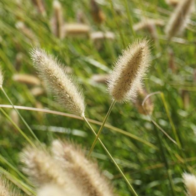 Sacramento wheat