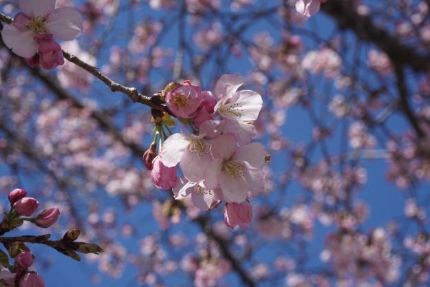 cherry blossom bo18