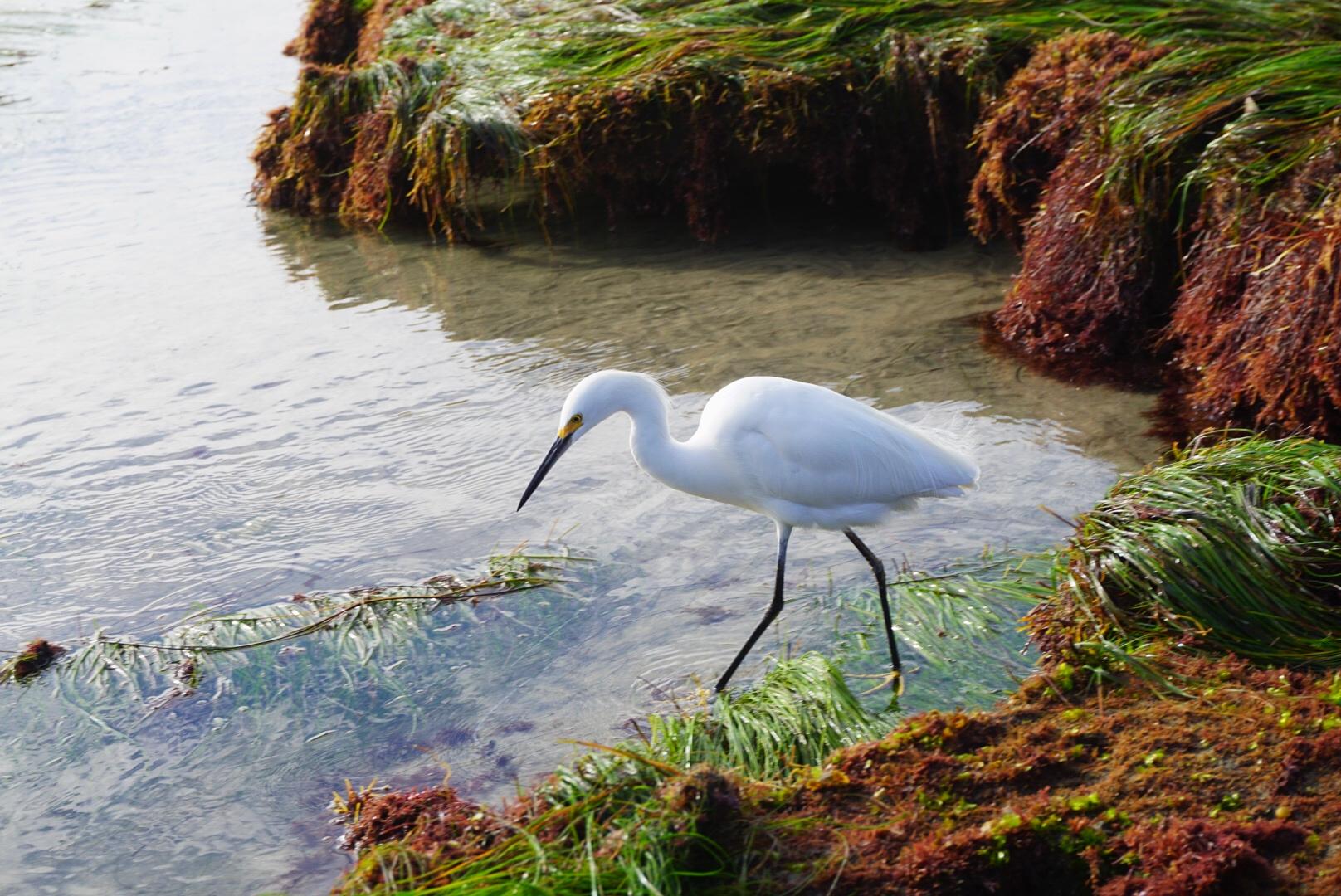egret bo18