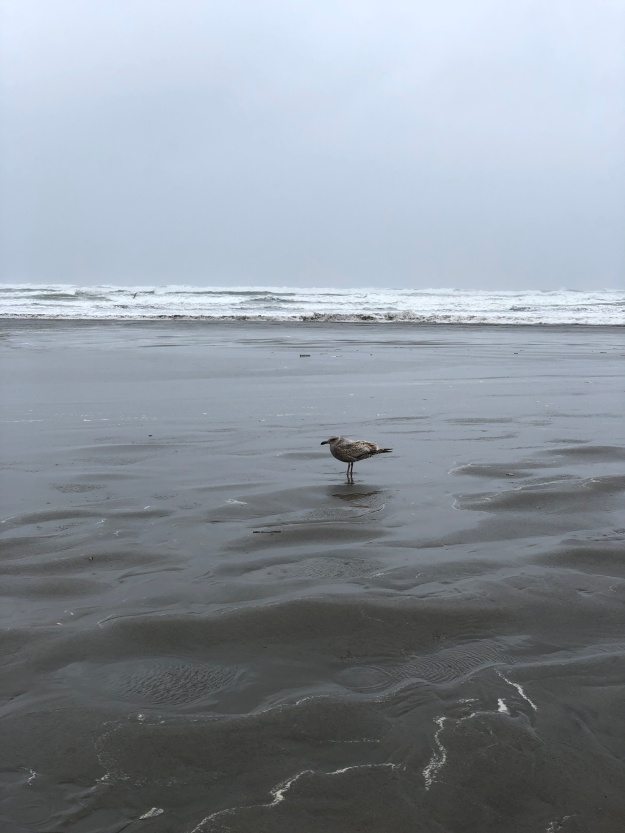 oregon seagull