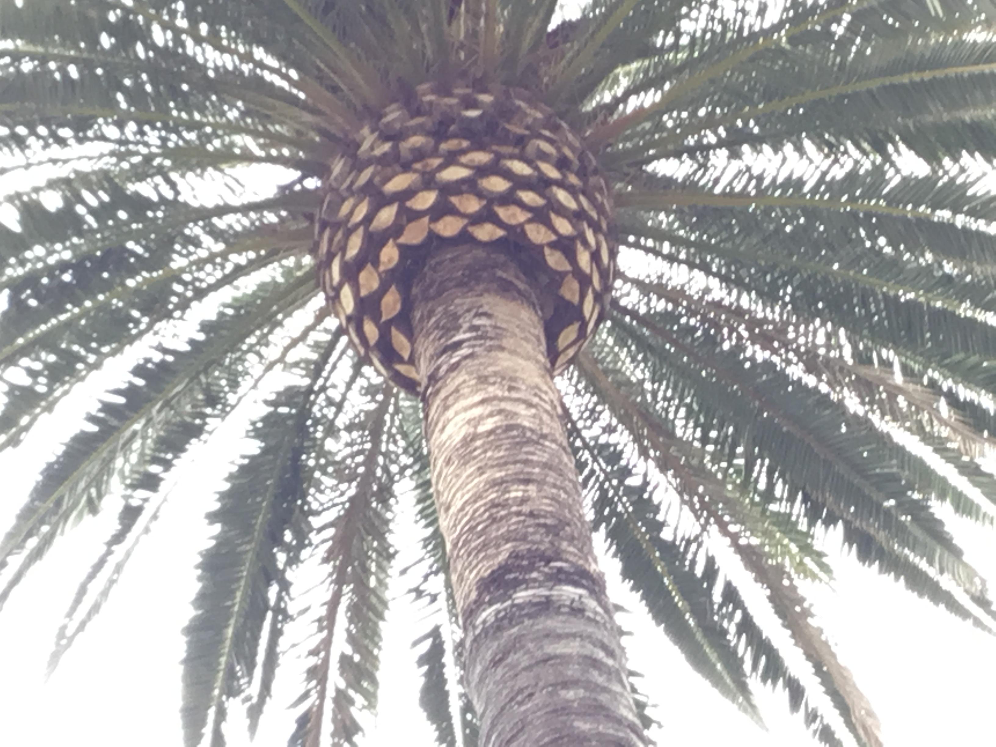 tyler pineapple palm tree