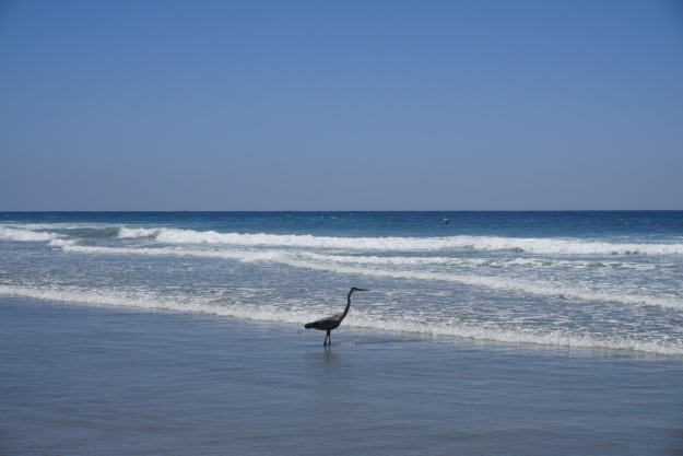 heron in the surf